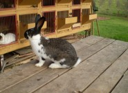 Burgundský, Meklenburský strakáč modrý, králík