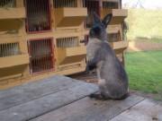 Kalifornský, Kuní velký hnědý (Kal x Kuvh), králík