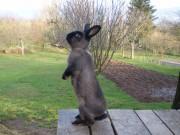 Kalifornský, Kuní velký hnědý králík