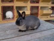 Kalifornský, Kuní velký hnědý, králík