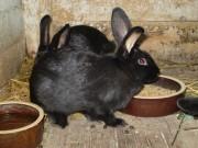 Kalifornský, Moravský modrý králík