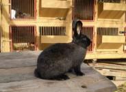 Kalifornský, Novozélandský červený (Kal x Nč) králík