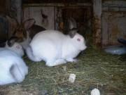 Kalifornský, Činčila velká (Kal x Čv) králík
