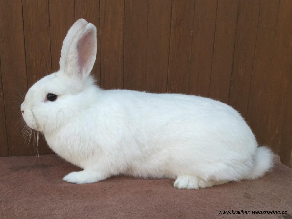 moravský bílý hnědooký, králík