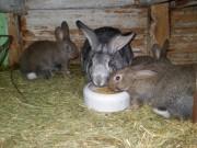 Moravský modrý, Činčila velká králíci