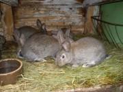 Moravský modrý, Činčila velká, králíci