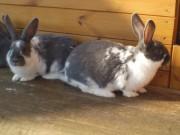 Moravský modrý, Meklenburský strakáč, kříženci králíků