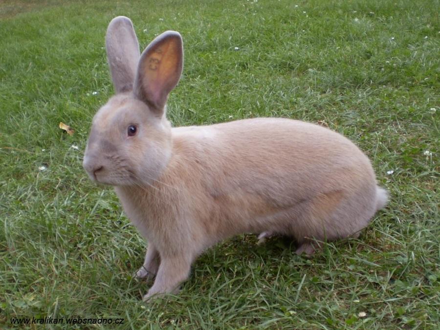 Český luštič, Kvapil, králík