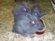 králíci, Moravský modrý, králík