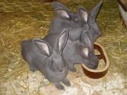 Moravský modrý králík prodej