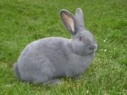 Moravský modrý králík, prodej, Přibyl