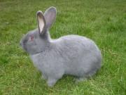 Moravský modrý králík, Klika
