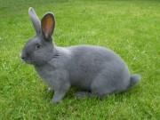 Moravský modrý králík samice