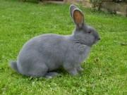 Mahrische blaue Kaninchen