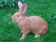burgundský králík