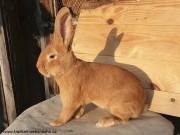 Burgundský šampion, králík