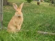 Burgundský králík, Kvapilová