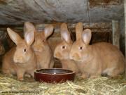 Burgundský králík, prodej, samice