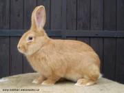 samec, králík, burgundský