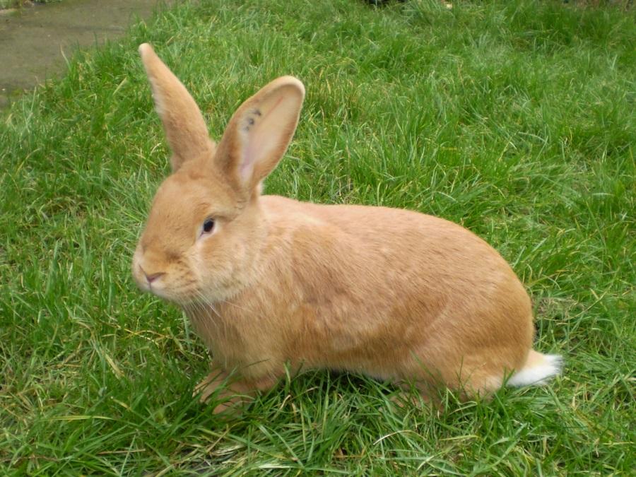 Burgundský králík, samice, Kvapilová