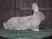 Kříženec králík, moravský modrý, český albín